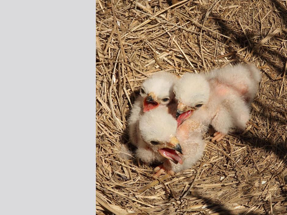 El polls acabats de néixer