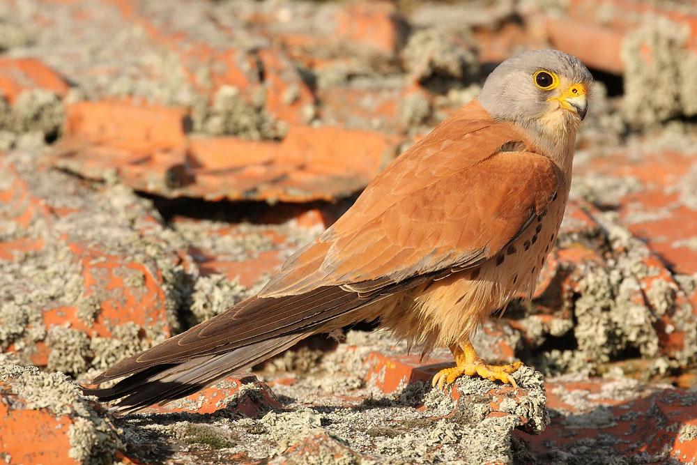 Falco naumanni 1347